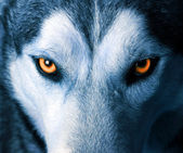 depositphotos_13555942-Eyes-of-wolf
